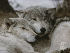 Napping Gray Wolves Photographic Print by Jim And Jamie Dutcher at Art.com