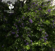 Duranta - attracts both birds and butterflies