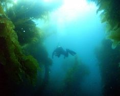 7 top American scuba diving destinations: Channel Islands, California: Scuba diver in kelp forest