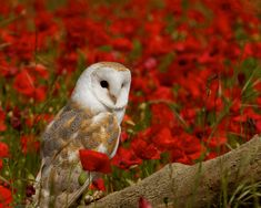 Owl in a field of red poppies