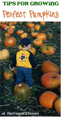 14 Tips for Growing Perfect Pumpkins! ~ from TheFrugalGirls.com - easy pumpkin gardening tricks you'll love! #garden #thefrugalgirls