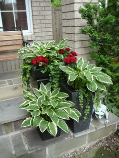 Hostas in a pot: Every spring they return ... in the pot! Add geraniums + ivy for interesting textures & a splash of colour. Grouping containers together and using repetition (pot colour & matching foliage) is a design trick to create unity and the WOW factor. More design tips @ http://themicrogardener.com/design/ | The Micro Gardener