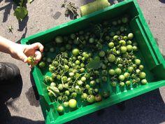 Cassie Liversidge- Green tomatoes