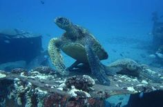 Diving with Green Sea Turtles in Lahaina, Maui.