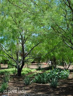 Mesquite