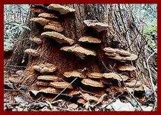 mushroom magic, stick, tree, shelves, shelf fungus, larg flat, scienc, mushrooms