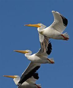 Pelicans in flight....lovely