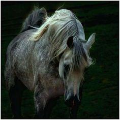 Arabian Horse. (Photographer Wojtek Kwiatkowski)