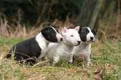 bull-terrier-love-tumblr