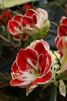 Hippeastrum Prelude, Keukenhof, the Netherlands, 2012.  Photo: KarlGercens.com, via Flickr