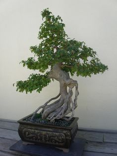 Bonsai Trees Trident Maple Bonsai by JCardinal18, via Flickr