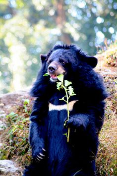 "The Asian Black Bear (Ursus thibetanus) also known as the "" Moon Bear""."