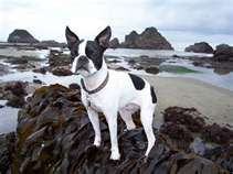 """When I was a lad, I ran away to the sea."" -Boston Terrier"