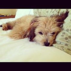 Sing Sing is an adoptable Yorkshire Terrier Yorkie Dog in New Orleans, LA.  ...