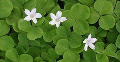 Green Shamrock Plants