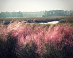 Coastal Photography, South Carolina Art, Kiawah Island, Pink Cotton Candy Pampas Grass