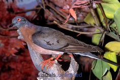 Passanger Pigeon. Hard to believe they've gone extinct. Looks a lot like the pigeons in D. C.