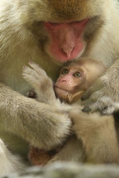 Mother and Baby snow monkeys...
