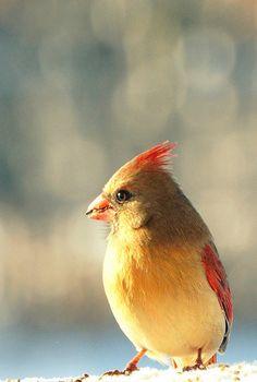 cardinal 'miss'