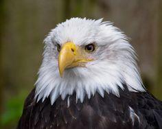 Eagle Alaska | Eagle In Ketchikan Alaska Photograph - Eagle In Ketchikan Alaska Fine ...