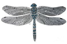 Dragonfly Drawing  - Dragonfly Fine Art Print