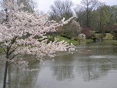 Magnolia tree and pond in the Japanese Garden