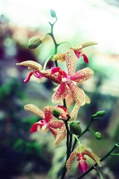 Tiger Orchid from the highlands
