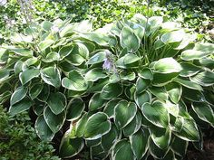 Garden Stuff: When And How To Divide Hostas For Transplanting