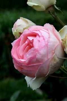 """Rose Willestrup """"Ede"""