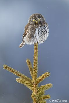 Northern Pygmy Owl - how is he balanced on there!?