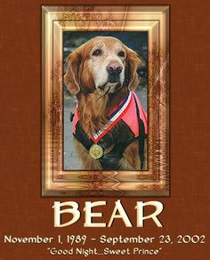 The first search and rescue dog on the scene of the World Trade Center disaster on September 11. 2001, was Bear, an 11 year old Golden Retriever. He began recovery efforts immediately, working 18 hour days in the beginning.  Rest in Peace, Bear.