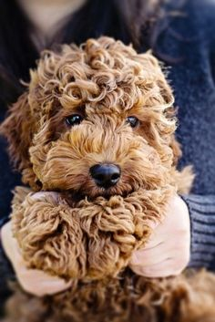 Ginger doodle puppy.