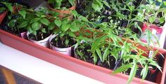 How to grow fruit trees from a seed (peach, plum, nectarine, etc.)