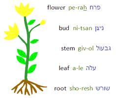 Flower in hebrew/ perah.