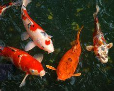 Osaka Aquarium koi