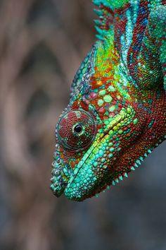 animals, lizard, chameleons, color combos, blue green