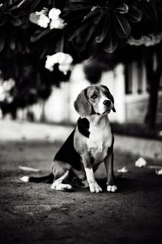 i <3 beagles. i have one. i plan to own another one :)