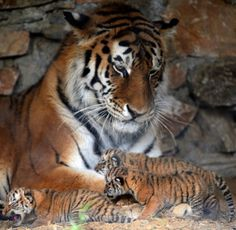 Mama tiger and beautiful cubs