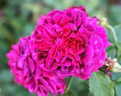 Maya-Honey Lampwork: More roses from Baden