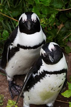 The African penguin (Spheniscus demersus), also known as the jackass penguin and black-footed penguin
