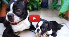 Beautiful Boston Terrier Puppies HD Video! Watch ► http://www.bterrier.com/?p=2012