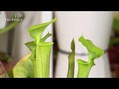 #VIDEO - L'eau et la lumière, deux éléments importants pour votre #plante #carnivore !