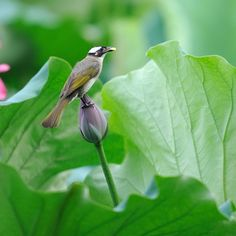 Little bird on a lotus bud