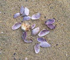 Shells.....Olivia. these are Coquinas, there are little sea creatures in them.  I used to collect them at the beach when I was your age.  They come in all different colors.