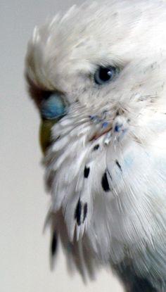 blue eyes on a parakeet