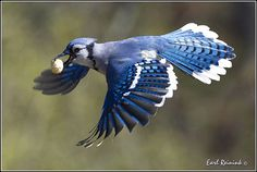 Blue Jay by Earl Reinink