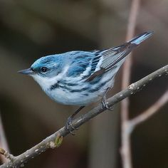 Cerulean Warbler (Dendroica cerulea) mountains, beauti bird, anim, cerulean warbler, feather friend, natur, blue bird, birds, blues