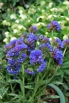 Pulmonaria 'Electric Blue'  30cmx50cm, sun/part shade, tolerates most soils but prefers moist well drained, flowers winter to spring,