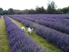 Health Benefits of Lavender Essential Oil | OrganicFacts.net