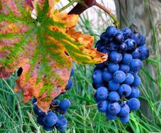 Taste the regional delights of Italy on a bike trip to Umbria! Wine enthusiasts alike will enjoy a trip to the fertile vineyards of Sargrantino grapes for a private tour of the Arnaldo Caprai winery, birthplace of the dry Sargrantino wine.